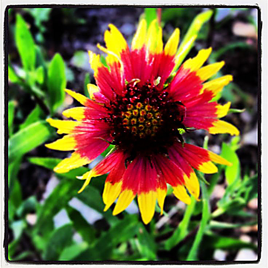 The Indian Blanket Wildflower