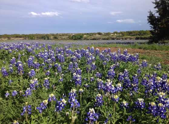 Brushy Creek Regional Trail Bluebonnets