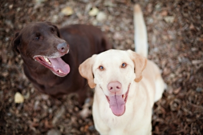 Two Smiling Labs by Home Style Austin