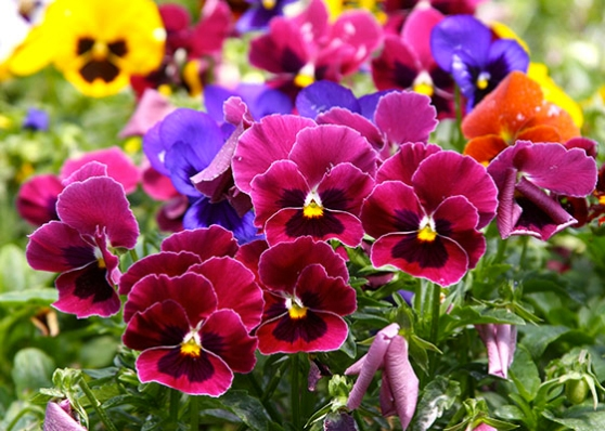 Pansy Pic Courtesy Of The Home Depot